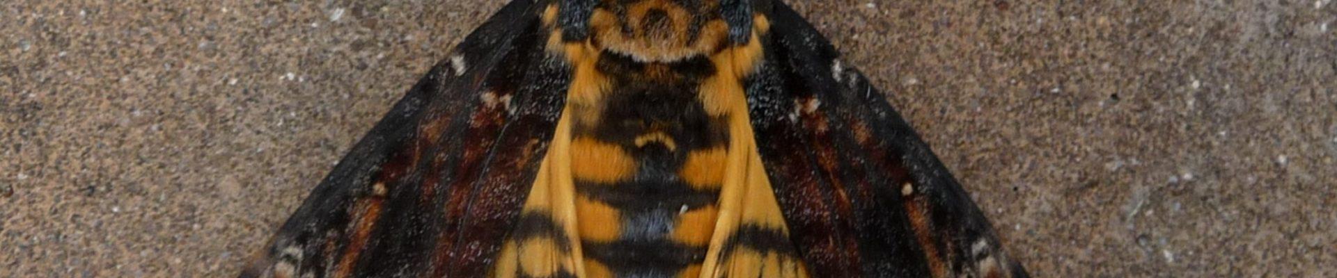 Waarnemingen van dagvlinders, macro- en micronachtvlinders