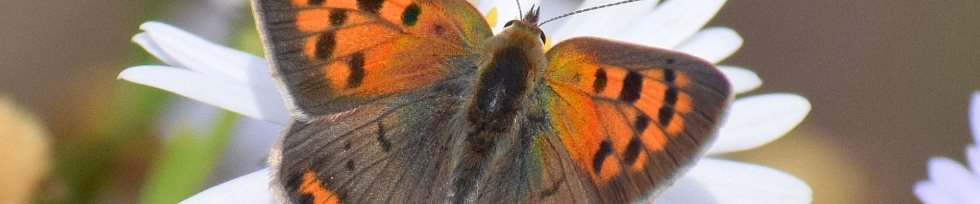Nieuws achteruitgang vlinders NL