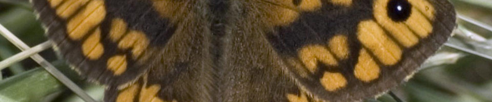 Kom ook Argusvlinders tellen rond Roswinkel!