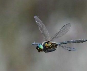 Ontdekking van de Hoogveenglanslibel in Drenthe en de verspreiding in Nederland