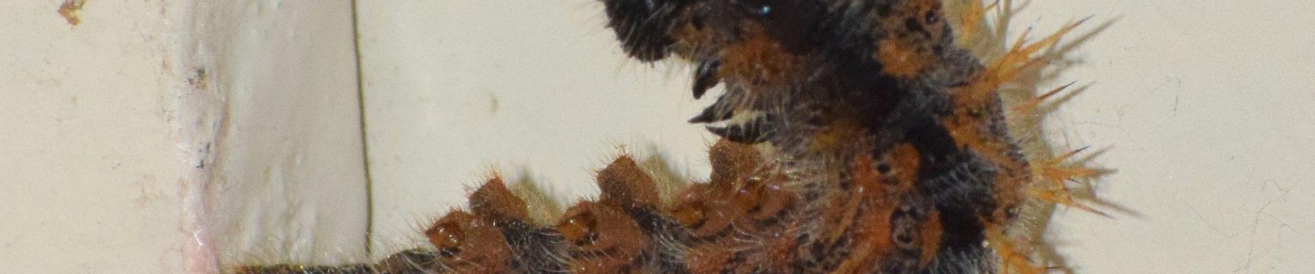 Haast niet te geloven: 7 rupsen van Grote vos