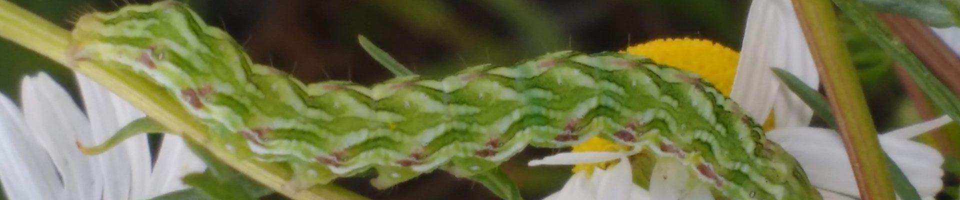 Rups van de Kamillevlinder