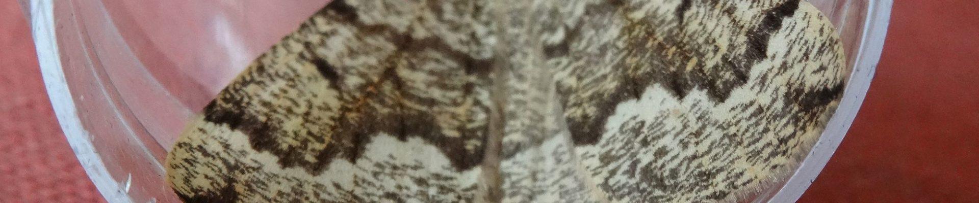 De zeldzame Dennenbandspanner in Orvelte gezien