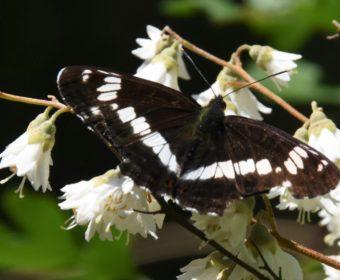 Zelden in Drenthe gezien: Kleine ijsvogelvlinder