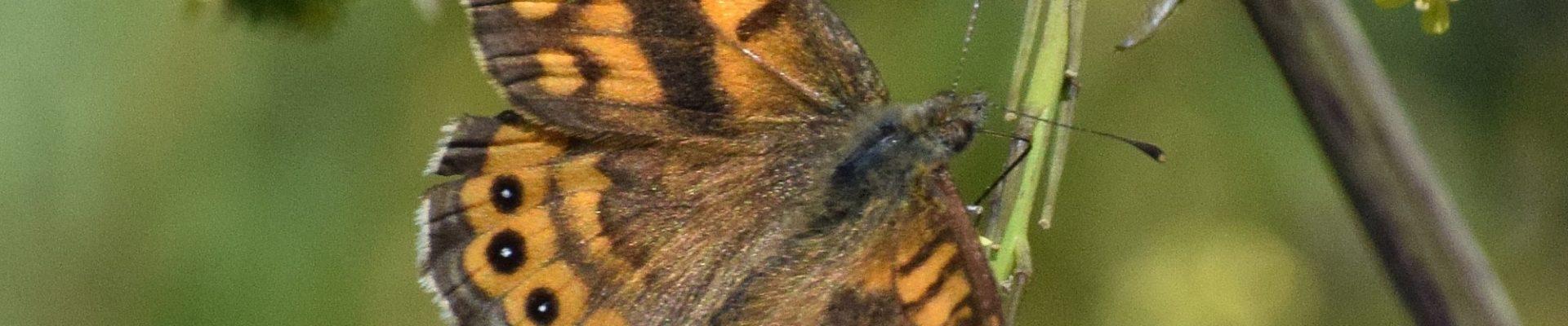 Vlinderwerkgroep Drenthe