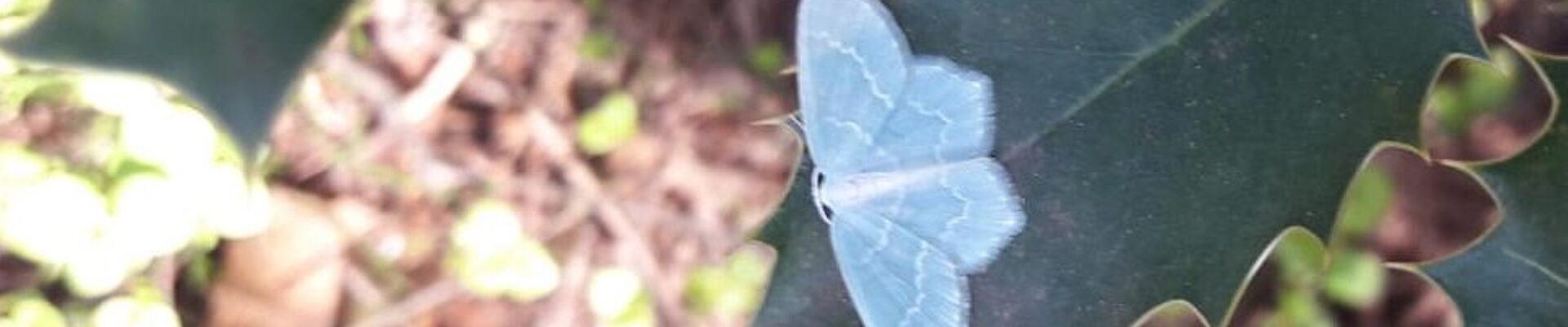 Spaansgroene zomervlinder op Blauwe bosbes