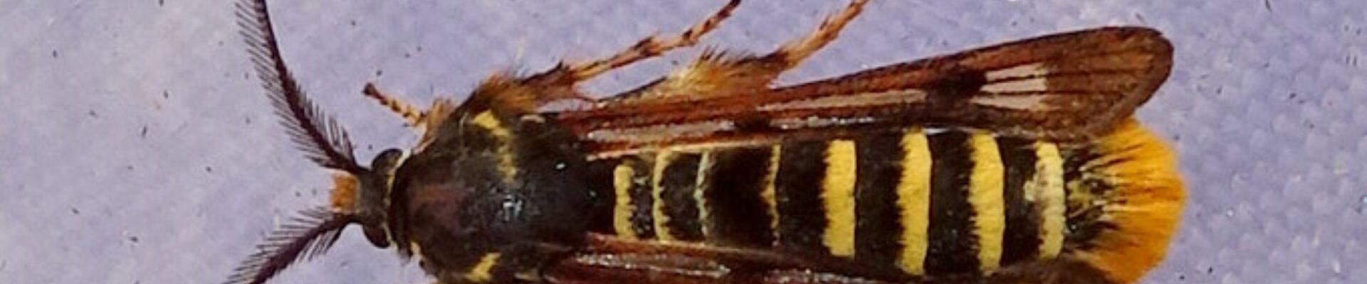 Vervolg wespvlinders: Frambozenglasvlinder