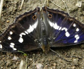 Grote weerschijnvlinder ook in juli in Drenthe gezien