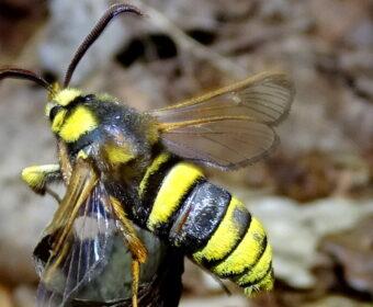 Wespvlinders (vervolg van 30 mei)