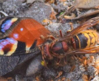 Hoornaar en Dagpauwoog – geen vrienden