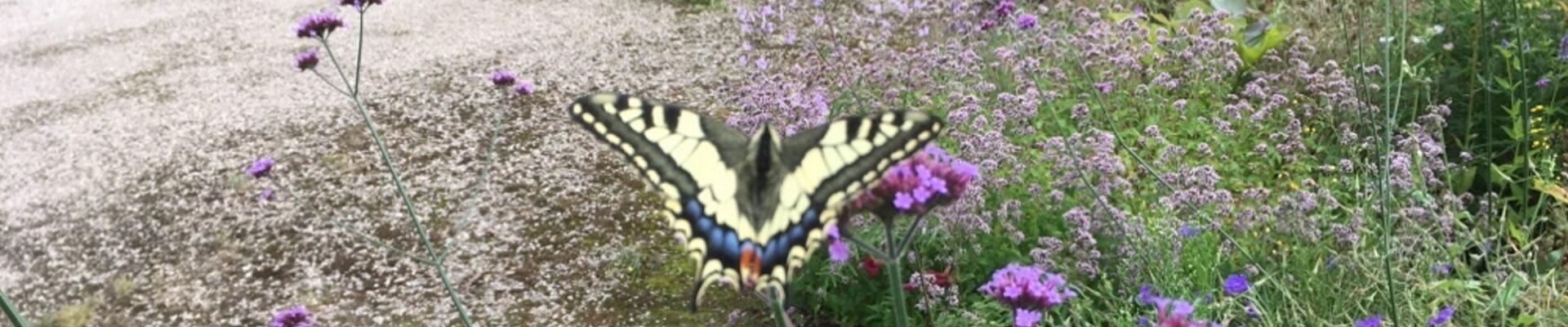 Een Koninginnenpage zomaar in de tuin